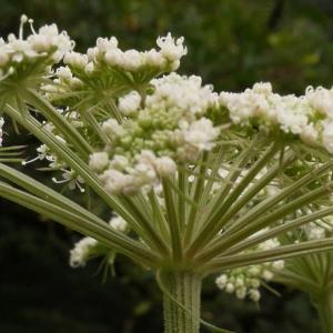 Photographie n°2121892 du taxon Angelica sylvestris L. [1753]
