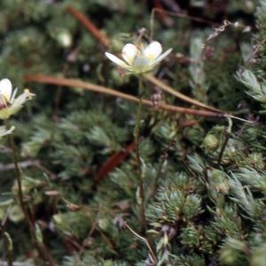 Photographie n°2121909 du taxon Saxifraga aspera subsp. bryoides (L.) Gaudin