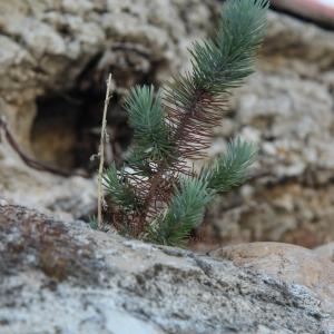 Photographie n°2121937 du taxon Pinus halepensis Mill. [1768]