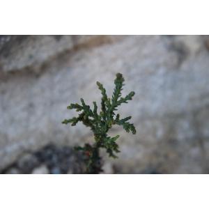Cyperus sp.