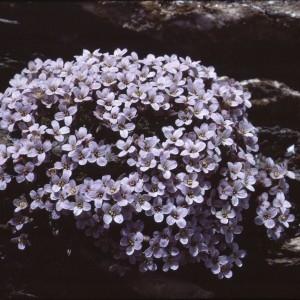 - Petrocallis pyrenaica (L.) R.Br. [1812]