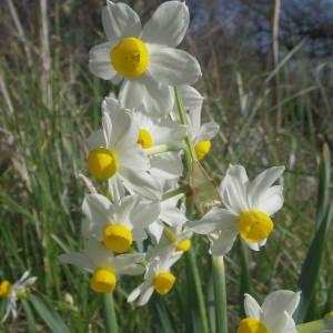 Photographie n°2122096 du taxon Narcissus tazetta L.