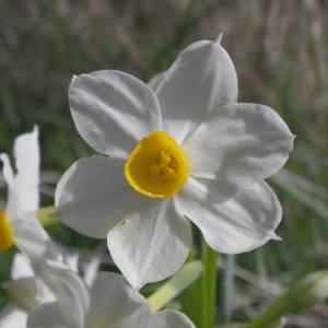 Photographie n°2122097 du taxon Narcissus tazetta L.