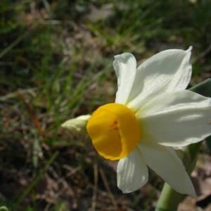 Photographie n°2122171 du taxon Narcissus tazetta L.