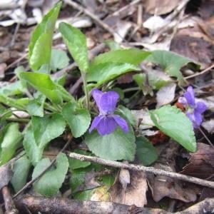 Photographie n°2122205 du taxon Viola hirta L. [1753]