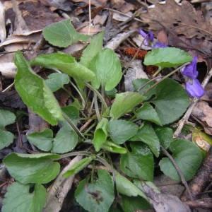 Photographie n°2122206 du taxon Viola hirta L. [1753]