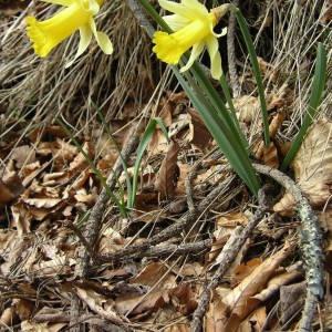 Photographie n°2122412 du taxon Narcissus pseudonarcissus L. [1753]