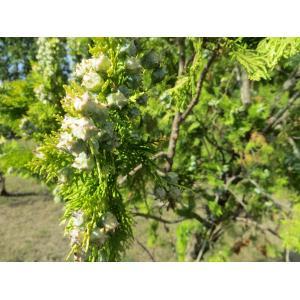 Platycladus orientalis (L.) Franco (Thuya d'Orient)