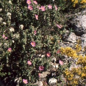 Photographie n°2122703 du taxon Cistus albidus L. [1753]