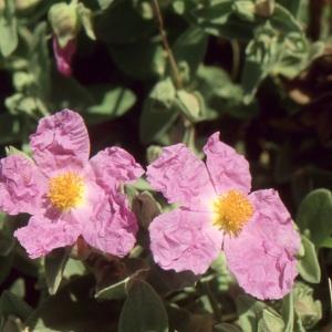Photographie n°2122716 du taxon Cistus albidus L. [1753]