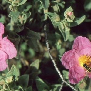 Photographie n°2122719 du taxon Cistus albidus L. [1753]
