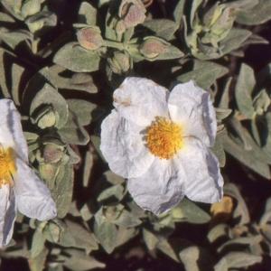 Photographie n°2122724 du taxon Cistus albidus L. [1753]