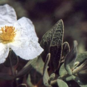 Photographie n°2122725 du taxon Cistus albidus L. [1753]