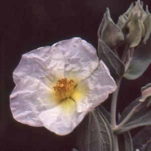 Photographie n°2122726 du taxon Cistus albidus L. [1753]