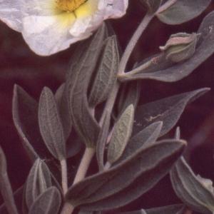 Photographie n°2122728 du taxon Cistus albidus L. [1753]