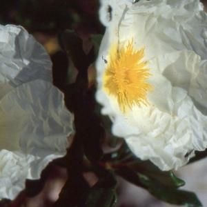 Cistus ladanifer subsp. sulcatus (Demoly) P.Monts.