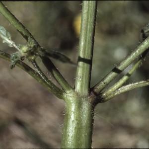 Photographie n°2122822 du taxon Galeopsis tetrahit L.