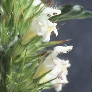 Photographie n°2122824 du taxon Galeopsis tetrahit L.
