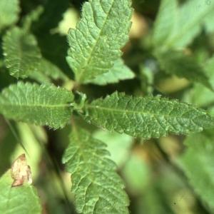 Photographie n°2122825 du taxon Galeopsis tetrahit L.
