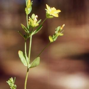 Photographie n°2122898 du taxon Hypericum humifusum L. [1753]