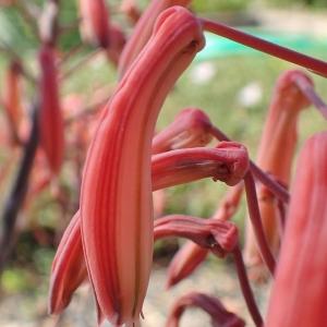 Aloe aristata Haw. (Aloès à arêtes)