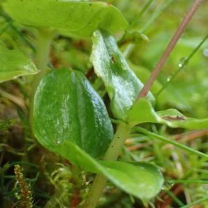 Photographie n°2122932 du taxon Neottia cordata (L.) Rich. [1817]