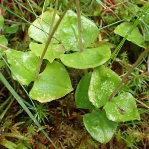 Photographie n°2122939 du taxon Neottia cordata (L.) Rich. [1817]