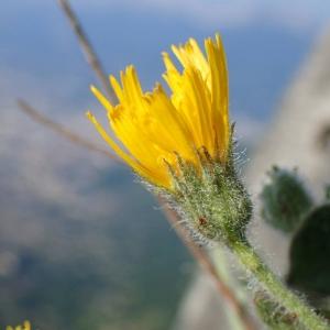 Hieracium pilosum Schleich. ex Froël. [1838] (Épervière à capitules velus)