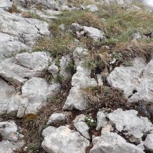 Photographie n°2128463 du taxon Androsace villosa L. [1753]