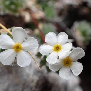Photographie n°2128471 du taxon Androsace villosa L. [1753]