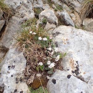 Photographie n°2128476 du taxon Androsace villosa L. [1753]