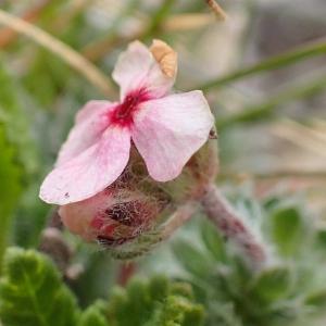 Photographie n°2128478 du taxon Androsace villosa L. [1753]