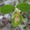Yoan Martin - Melilotus officinalis Willd. [1809]