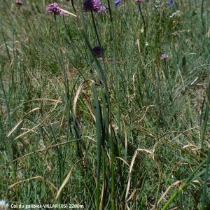- Allium strictum Schrad.