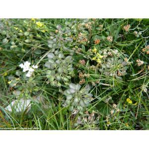 Hormathophylla lapeyrouseana (Jord.) P.Küpfer (Alysson de Lapeyrouse)