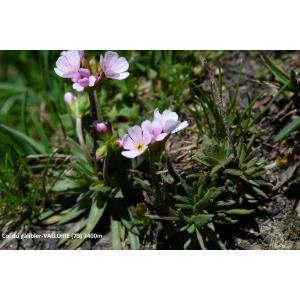 Androsace adfinis subsp. puberula (Jord. & Fourr.) Kress (Androsace pubérulente)