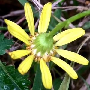 Photographie n°2131812 du taxon Jacobaea vulgaris Gaertn. [1791]
