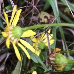 Photographie n°2131813 du taxon Jacobaea vulgaris Gaertn. [1791]
