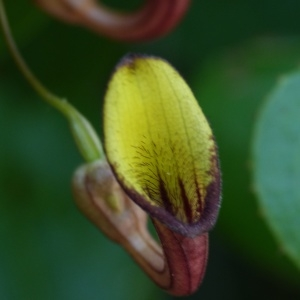 - Aristolochia altissima Desf.