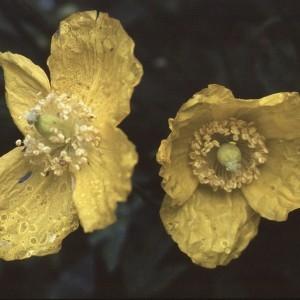 Photographie n°2132275 du taxon Meconopsis cambrica (L.) Vig. [1814]