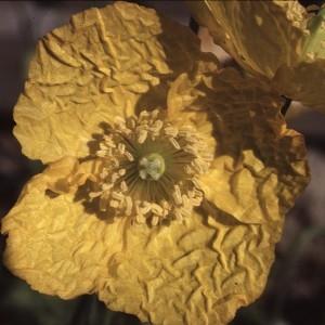 Photographie n°2132276 du taxon Meconopsis cambrica (L.) Vig. [1814]