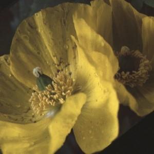 Photographie n°2132278 du taxon Meconopsis cambrica (L.) Vig. [1814]