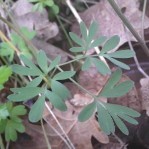 Photographie n°2132293 du taxon Corydalis solida (L.) Clairv. [1811]