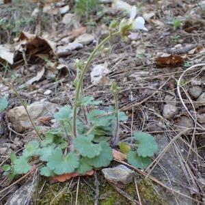 Photographie n°2132296 du taxon Saxifraga granulata L.