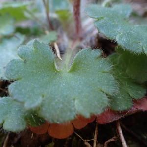 Photographie n°2132297 du taxon Saxifraga granulata L.