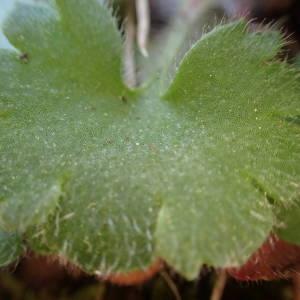 Photographie n°2132298 du taxon Saxifraga granulata L.