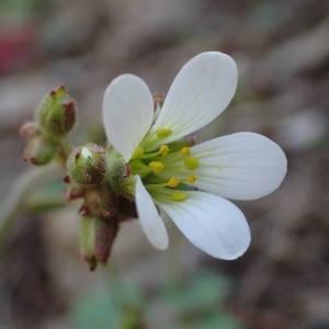 Photographie n°2132299 du taxon Saxifraga granulata L.