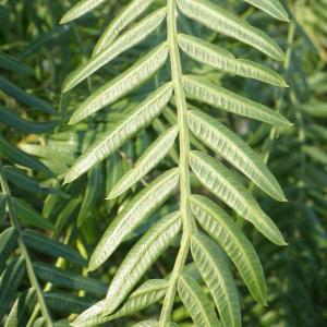 Photographie n°2132367 du taxon Schinus molle L.
