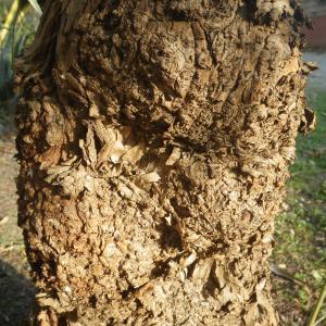 Photographie n°2132369 du taxon Schinus molle L.