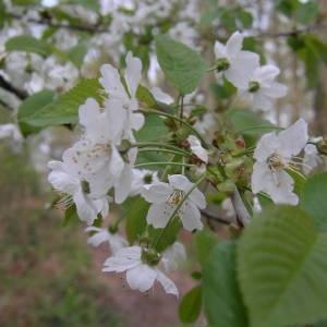Photographie n°2132412 du taxon Prunus avium (L.) L. [1755]
